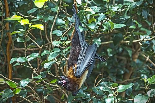 Murciélago / Bat