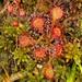 Drosera capillaris, Lake Bog, Taylor County, Georgia 1 by Alan Cressler