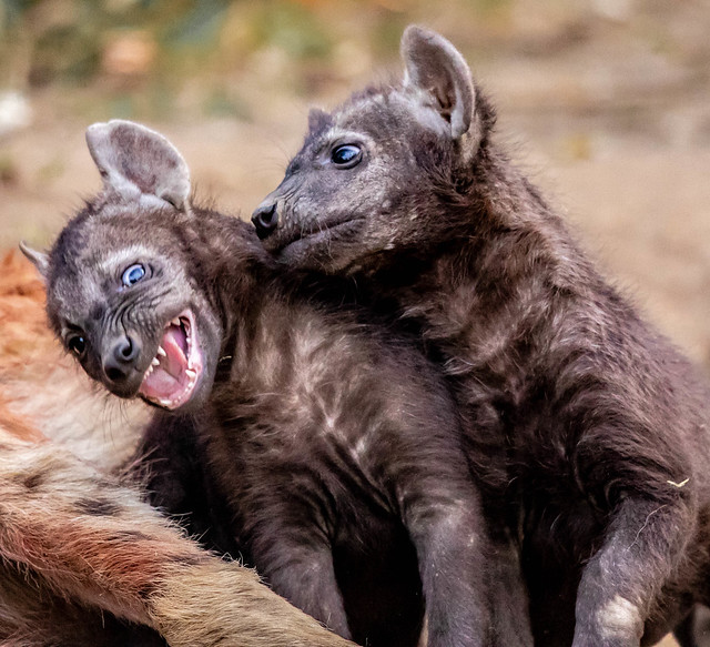 Hyena pups playing rough, Canon EOS 7D MARK II, Canon EF 500mm f/4L IS II USM