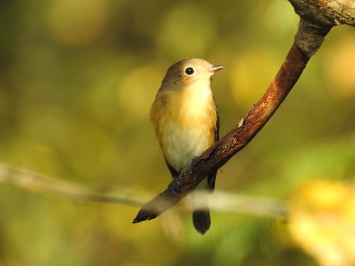 redbreastedflycatcher ficedulaparva väikekärbsenäpp bird p900 nikoncoolpixp900