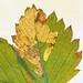 Ectoedemia arcuatella