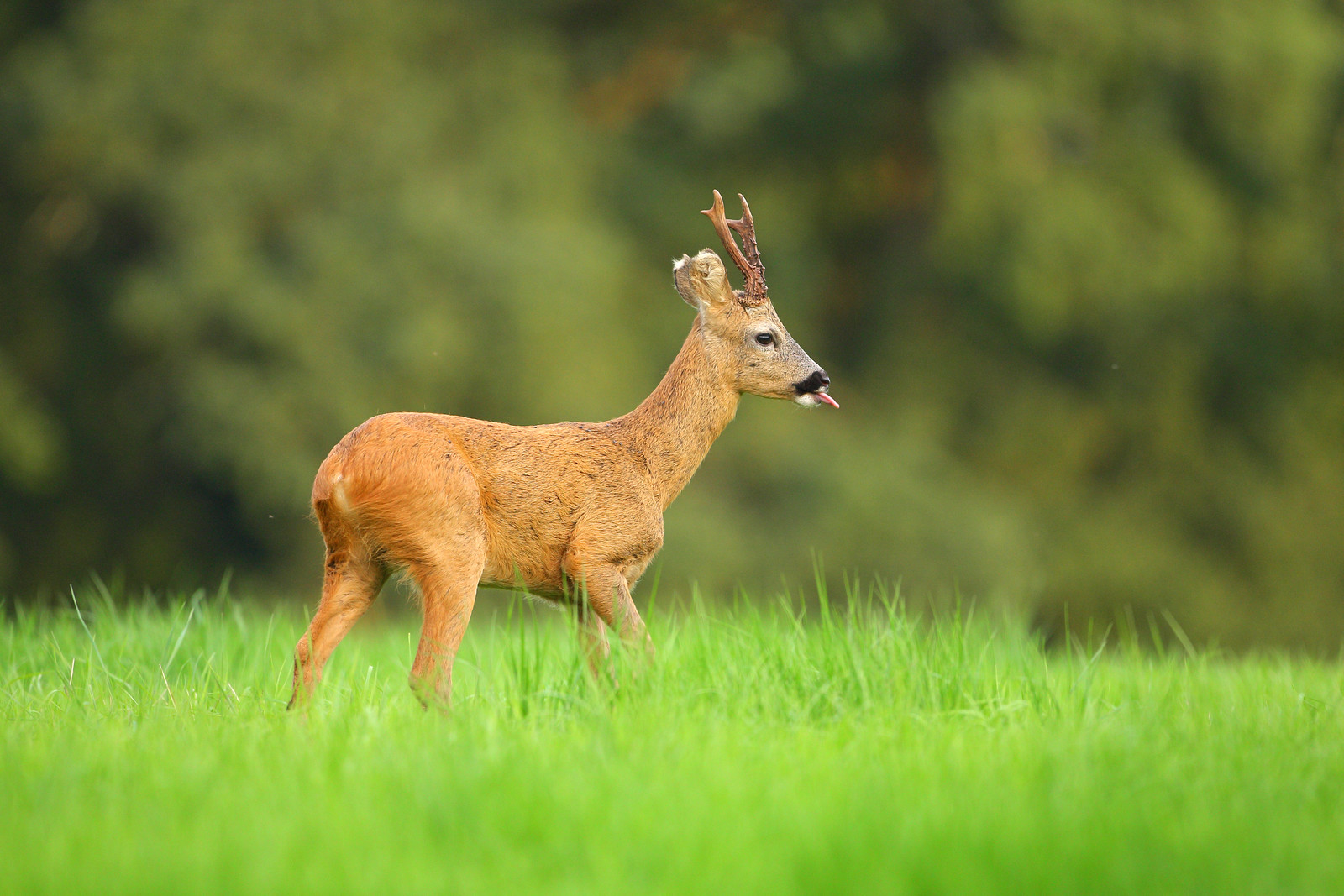 Roe Buck Licking Lips