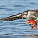 Osprey with Catch by ken.helal