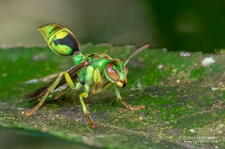 Emerald paper wasp (Ropalidia sp.) - DSC_1607
