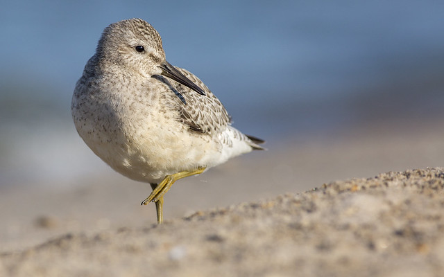 Red Knot (juvenile), Canon EOS 5D MARK III, Canon EF 400mm f/5.6L