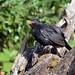 Blackbird July 18 (15)