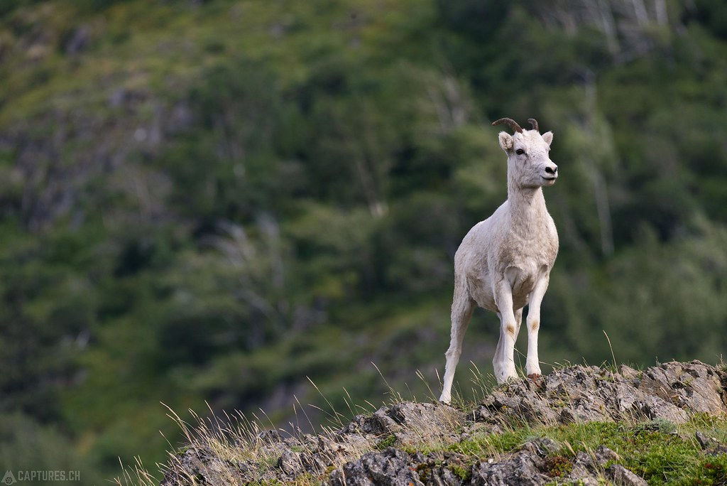 Dall sheep on the hill - Alaska
