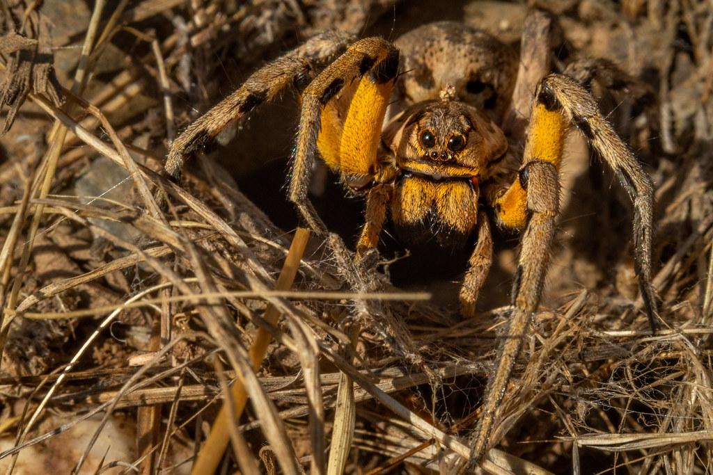 Tarantula Wolf Spider - Tarântula-do-mediterrâneo - Lycosa tarantula