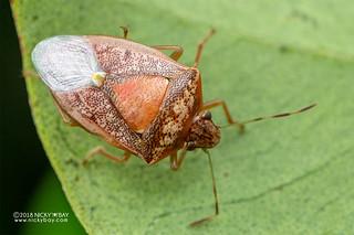 Stink bug (Pentatomoidea) - DSC_7838