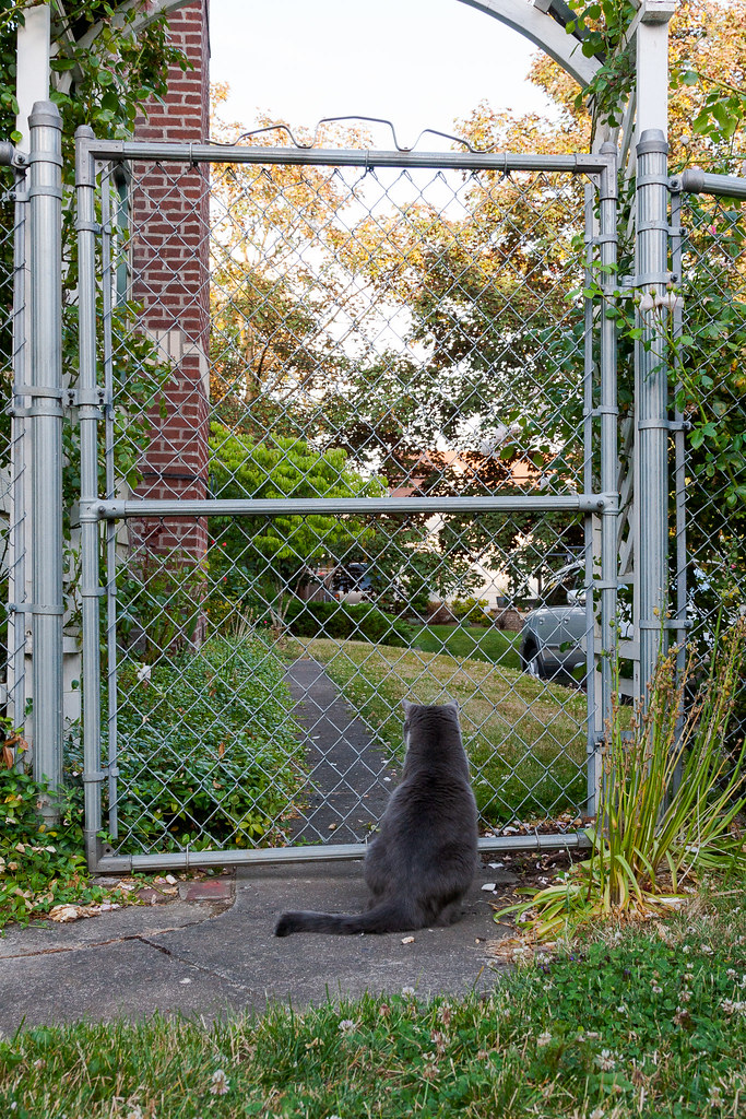 Our gray tuxedo cat Templeton watches the dying light from the gate in our backyard late on a summer evening in 2007 in Portland, Oregon
