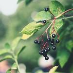 2018:09:09 15:11:43 - Garden Fruit Bokeh - Schleswig-Holstein - Deutschland