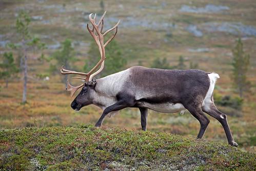 Reindeer in Pallastunturi