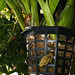 Acineta densa species orchid,  1st spike 8-18
