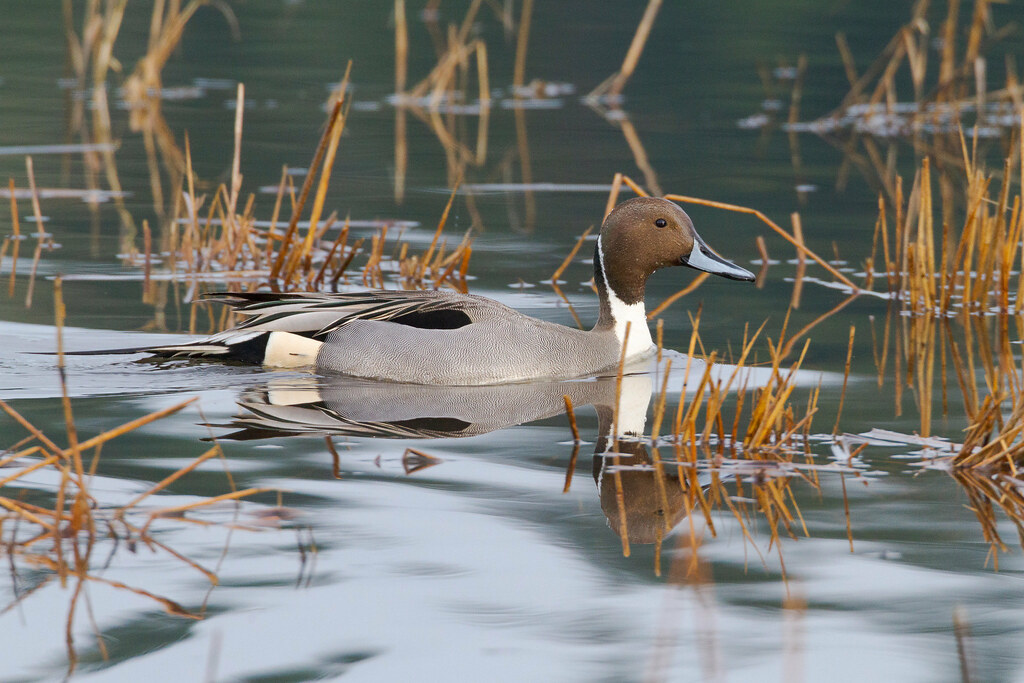 A northern pintail drake swims in Ruddy Lake at Ridgefield National Wildlife Refuge in Washington