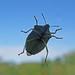 Green Shield Beetle:    245/365