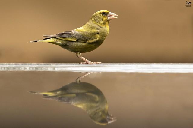 Verdilhao, European Greenfinch (Carduelis chloris)