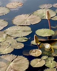Almost Water Lilies