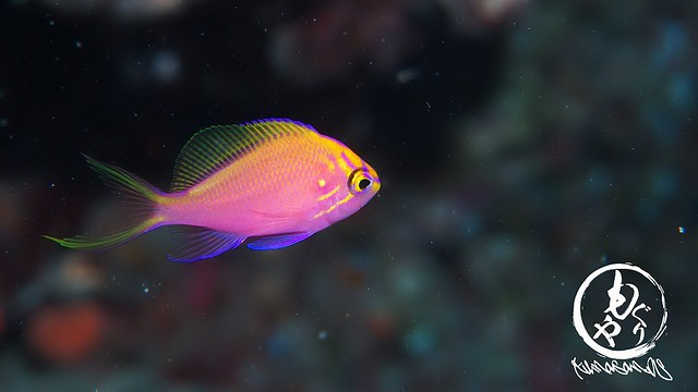 だいぶ大きくなってきたハナゴンベ幼魚