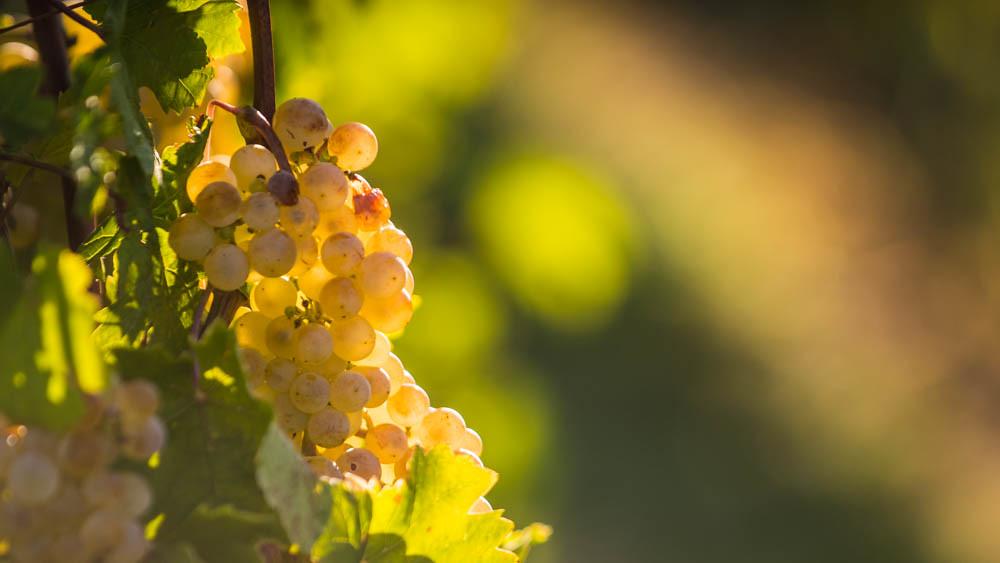 Weintrauben_weiß_059