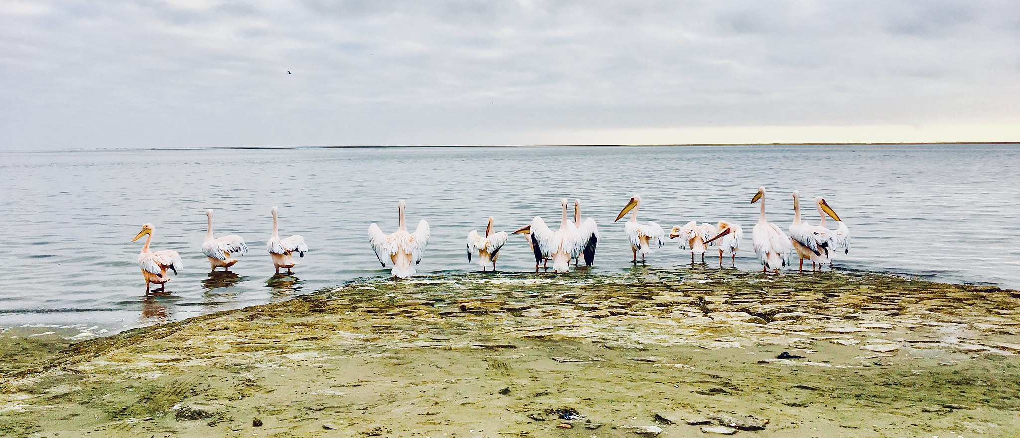 Pelicans at Walvis Bay