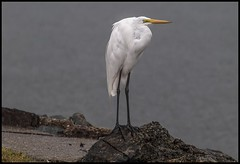 Henry the Great Egret at Sandgate-1=