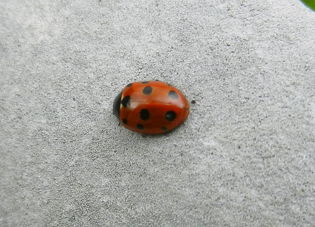 Ladybird DSCN8837