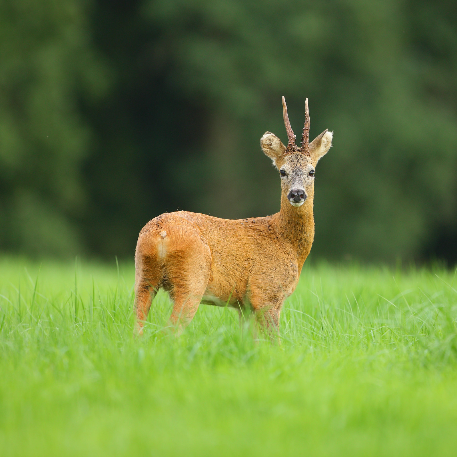 Roe Buck Portrait