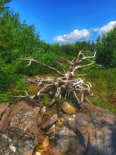 twisted deadtree trees driftwood coastalmainebotanicalgardens boothbaymaine maine