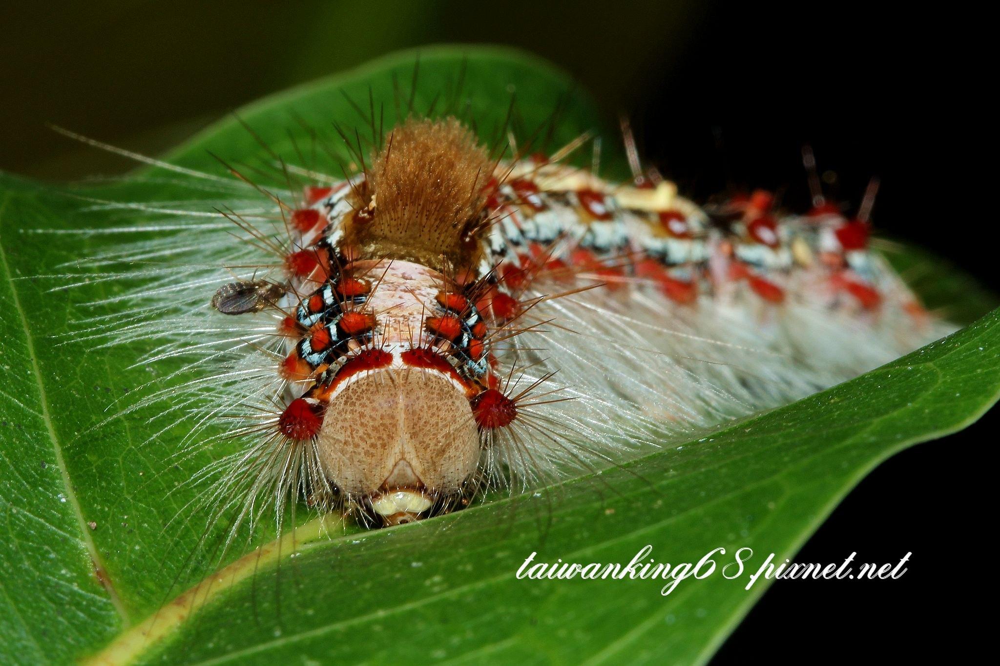榕透翅毒蛾的幼蟲