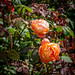 Cabbage roses, Great Chalfield Manor gardens