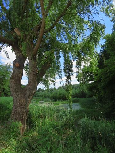 20180618 14 238 Baltica Neubukow Baum Weide Teich