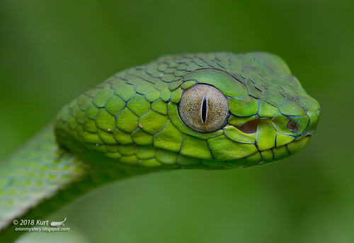 Trimeresurus sumatranus_MG_1344 copy