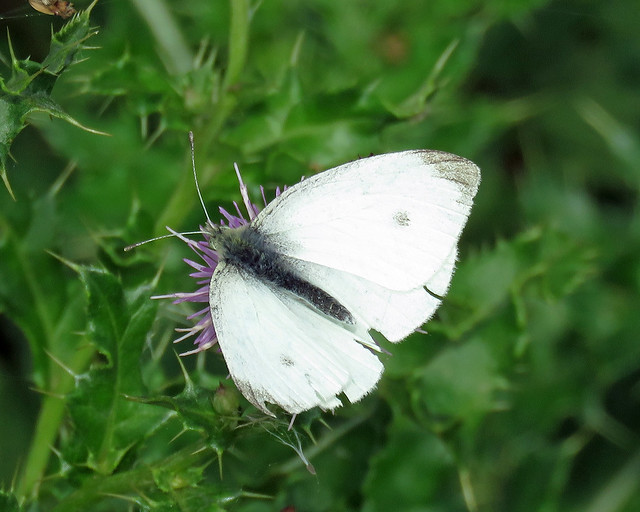 Small White - Pieris rapae