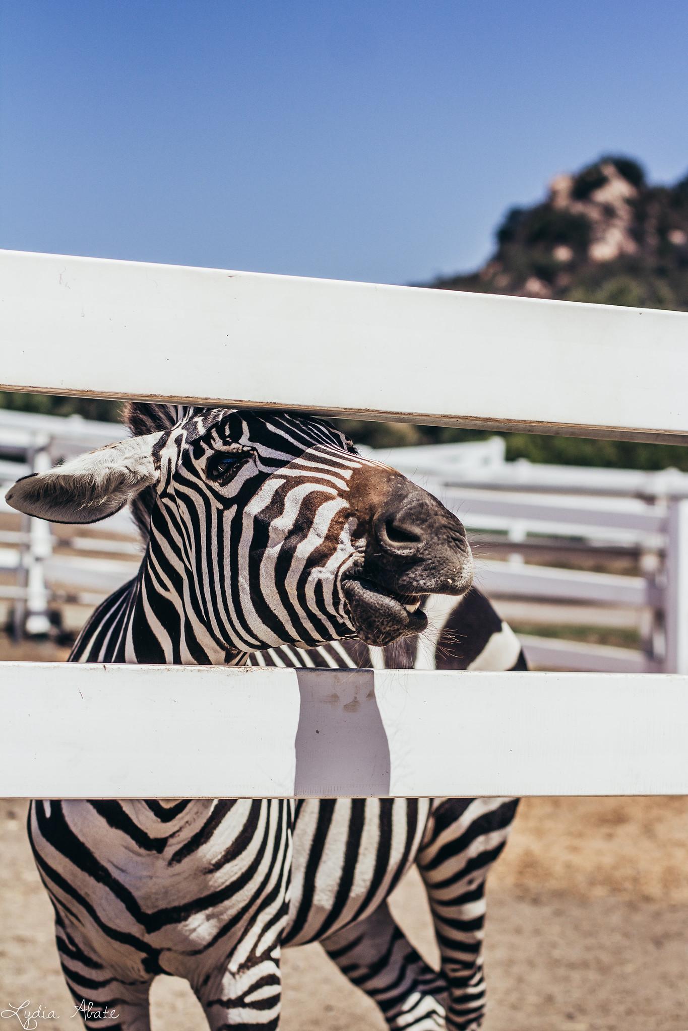 zebra-2.jpg