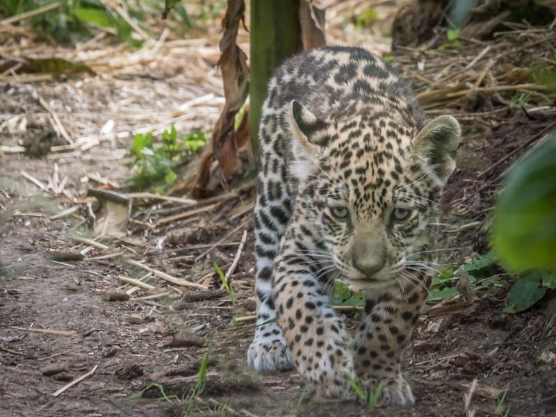 Lenca, la petite jaguar... 44699801661_ddc69e12f5_c