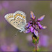 Silver-studded Blue (image 1 of 3) by Full Moon Images
