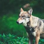 2018:09:02 15:34:47 - Wolf - Schleswig-Holstein - Deutschland