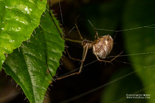Big-jawed spider (cf. Tylorida sp.) - DSC_9944