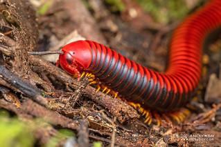 Millipede (Diplopoda) - DSC_0212