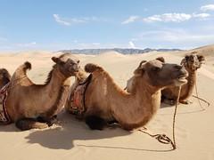 Bactrian camels in the Gobi Desert (4)