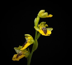 Ophrys lutea- Yellow bee-orchid