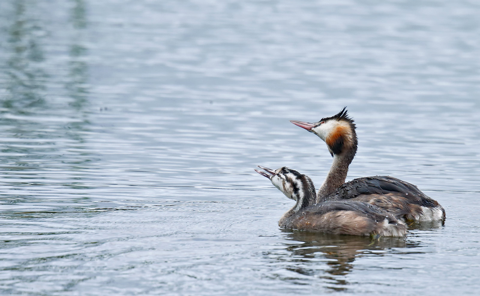 Great Crested Grebe - adult & juvenile