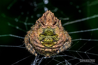 Broad-headed bark spider (Caerostris bojani) - DSC_2927