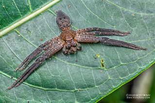 Huntsman spider (Thunberga sp.) - DSC_2843