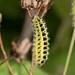 Zygaena (Burnett moth) caterpillar 1140093