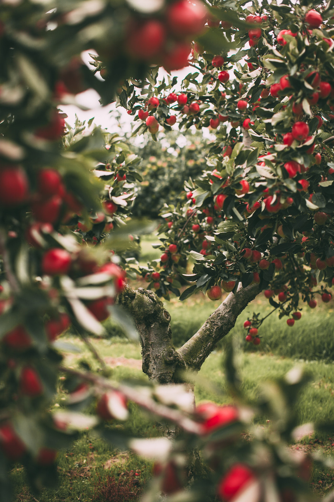 red apples-46