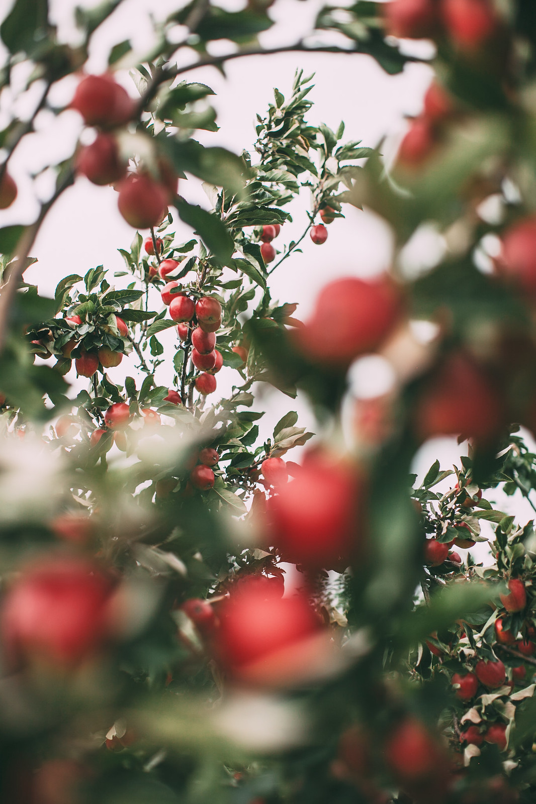 red apples-40