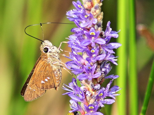 Brazilian (NOT Three-spotted) Skipper 2-20180830