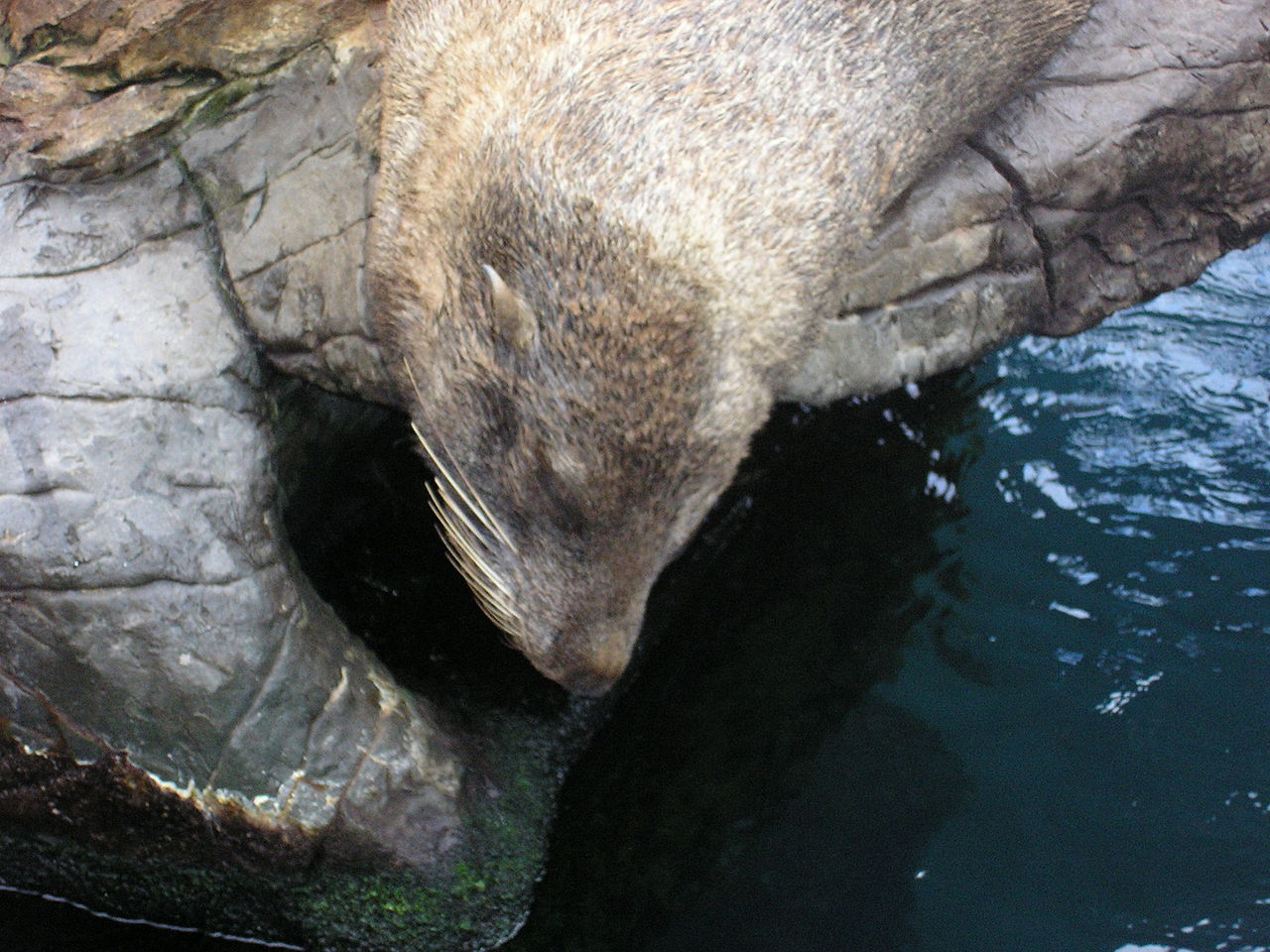 A fur seal sunbathing on a rock at Living Coats, a coastal zoo in Torquay, Devon, England.