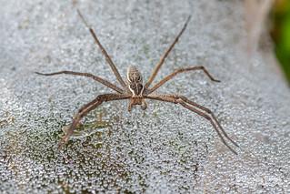 Nursery web spider (Euprosthenopsis sp.) - DSC_1021